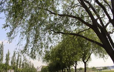광나루한강공원에 조성된 버드나무숲