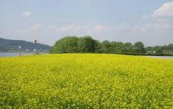 광나루한강공원에 유채꽃밭이 펼쳐져있다