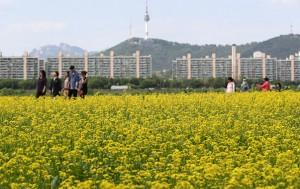5월 12~13일, 반포한강공원 서래섬에서 유채꽃 축제가 열린다.
