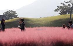 가을철 분홍빛을 띄는 핑크뮬리는 아름다운 분위기를 연출해 SNS 등에서 유명세를 탔다