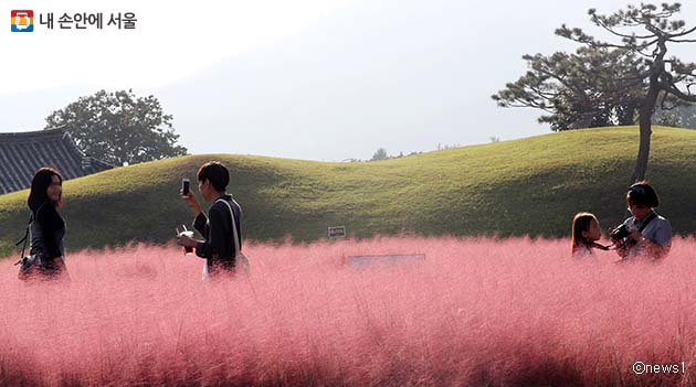 가을이면 분홍빛으로 물드는 핑크뮬리, 사진 속 장소는 경북 경주 동부사적지