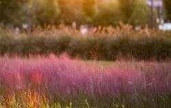 일반 억새와 달리 분홍빛으로 꽃을 피워 로맨틱한 느낌을 주는 핑크뮬리, 노을빛을 받아 더 몽환적은 분위기를 자아내고 있다
