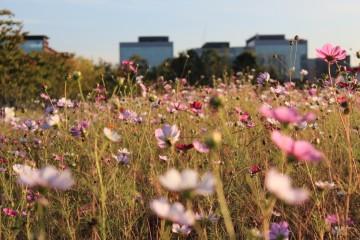 서울식물원 코스모스 풍경