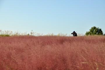 핑크뮬리를 담는 사진사
