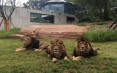 서울대공원 제3아프리카관 사자사