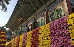 `조계사 국화향기 나눔전`은 11월 4일까지 열린다. 우리나라 불교행사의 중심이 되는 곳 조계사 대웅전