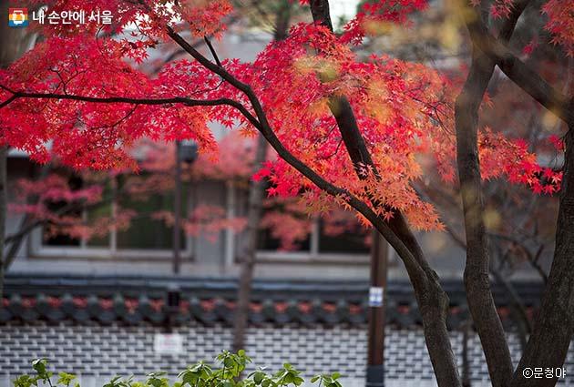 붉은 빛으로 곱게 물든 단풍나무