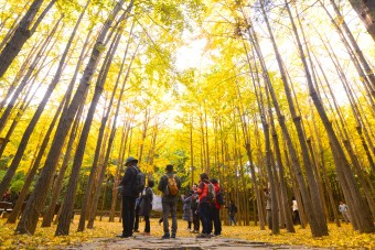 황금빛 은행나무 숲에서 가을을 외치다