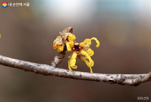 잎보다 먼저 꽃이 피는 나무꽃 풍년화, 봄에 일찍 피면 풍년이 온다는 속설이 있다