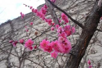 봄의전령 홍매화