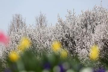 서울숲에 흩날리는 핑크빛 벚꽃