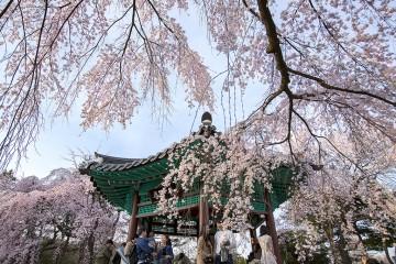 국립현충원 수양벚꽃