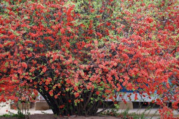 성균관 명륜당 명자나무꽃