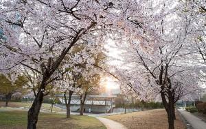 서울숲 가족마당에서 만난 벚꽃