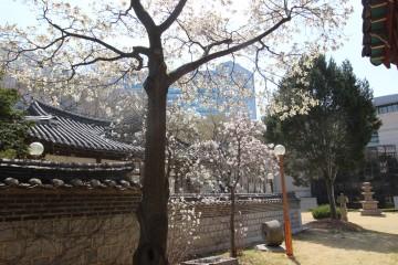 광혜원의 목련꽃