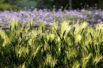 봄의 마지막, 보리와 보라꽃