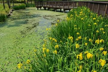 서울창포원의 노랑꽃창포
