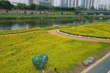 중랑천 노란 유채밭