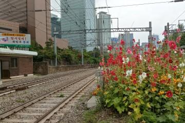 서소문 건널목에 핀 접시꽃