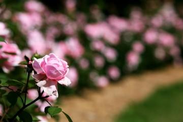 장미향 가득한 분홍장미 길