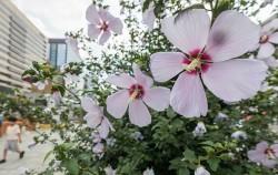 지난해 광화문 광장에 핀 무궁화 꽃