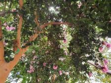 분홍 동백나무