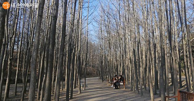 곧게 뻗은 은행나무가 빽빽이 늘어서 고즈넉한 겨울 숲의 매력을 뽐낸다