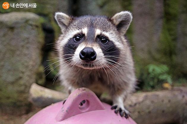 서울대공원이 집에서 만날 수 있는 동물 이야기 '별별리스트'를 준비했다. 첫 화 주제는 동물에 대한 흔한 오해들이다. 사진은 라쿤.