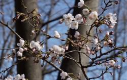 삼청공원의 벚꽃이 톡! 톡! 피어나며 봄을 알리고 있다