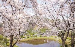 오늘의 벚꽃은 사라져도 추억의 벚꽃은 늘 같은 자리에