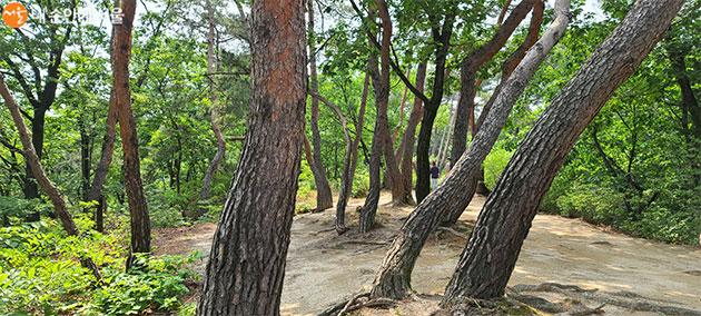 강릉 가는 길의 소나무