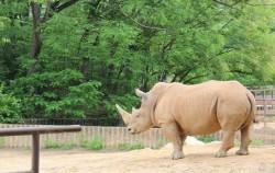 서울동물원 코뿔소