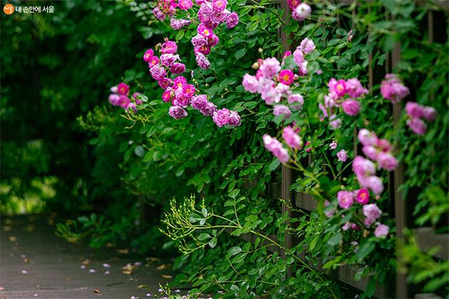 중랑장미공원에 피어난 장미들이 저마다의 아름다움을 뽐내고 있다