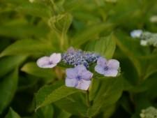 수국은 흙의 산성도에 따라 리트머스지처럼 꽃잎 색이 달라진다.