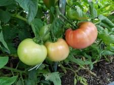 경춘선 숲길텃밭에는 성인손보다 더 큰 토마토가 붉게 익어가고 있다.