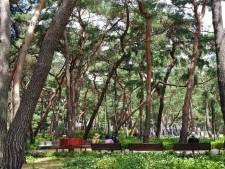 100년 된 소나무들이 서있는 솔숲 그늘 아래 앉아 쉬는 주민들의 모습