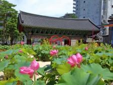 조계사 연꽃 축제가 열리고 있다