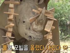 흰코뿔소가 방부목 모빌을 들어올리며 뿔갈이를 하고 있다.