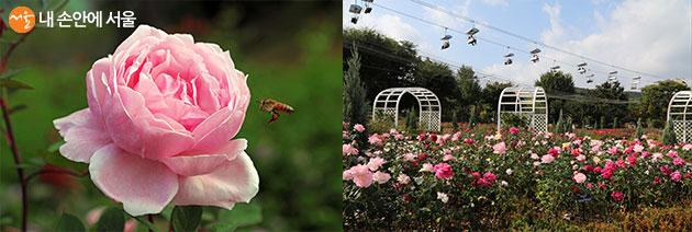 테마가든 장미원에는 4만 5,000주의 세계 장미 품종이 식재되어 있다