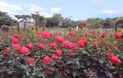 서울대공원 테마가든 장미원에 가을장미가 개화했다
