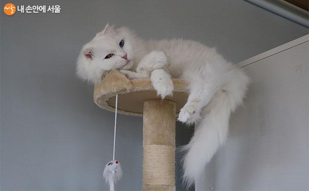 오드아이가 매력적인 고양이 아슬란. 현재 입양이 예정되었다고 한다.