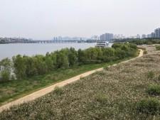 서래섬 가는 길에 한강 따라 조성된 갈대밭 산책길