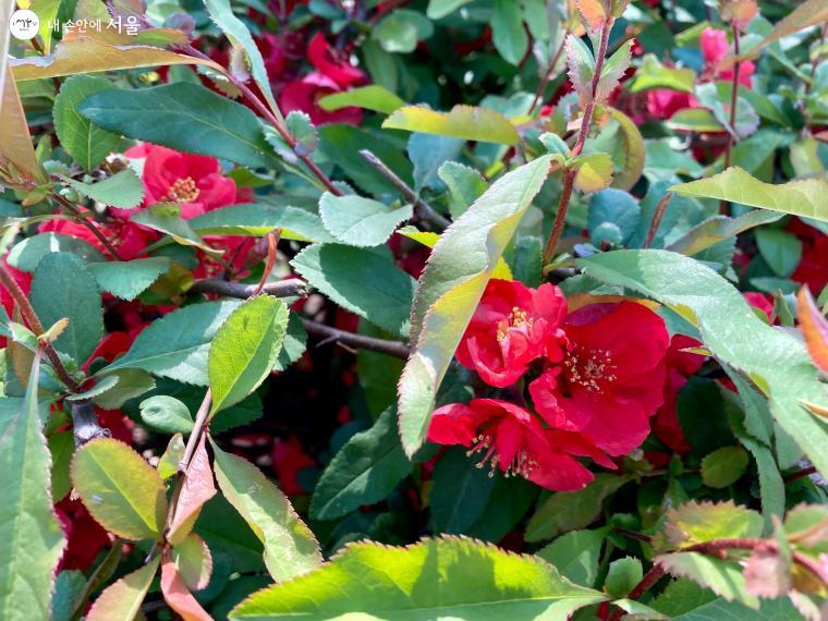 화려한 봄꽃 사이 단아한 명자꽃, 꽃말은 '겸손'이다