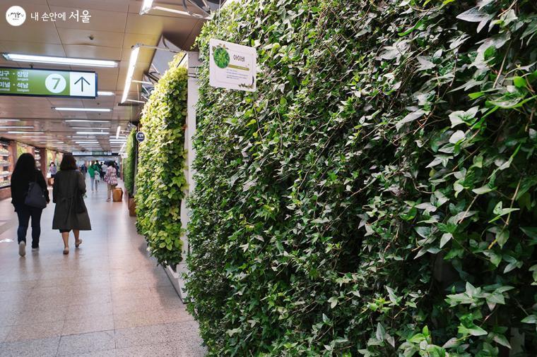 늘어지거나 벽을 타고 올라가는 게 아름다운 아이비도 실내 공기 정화에 좋은 식물이다 ⓒ문청야