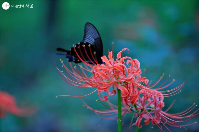 꽃무릇에 나비가 앉았다. ⓒ이선미