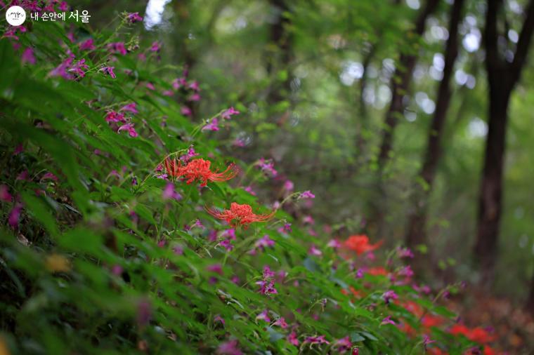물봉선과 꽃무릇이 어우러져 붉은 등을 켠 듯 환하다. ⓒ이선미
