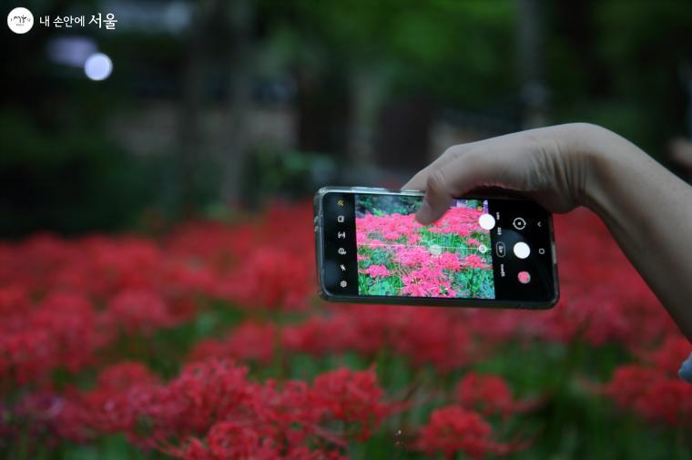스마트폰에 꽃무릇의 화려한 세계가 담기는 중이다. ⓒ이선미